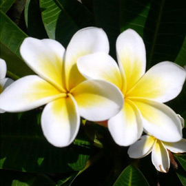 White frangipanis frangiplants frangipani supplier fragrant white mightylinksfo Images