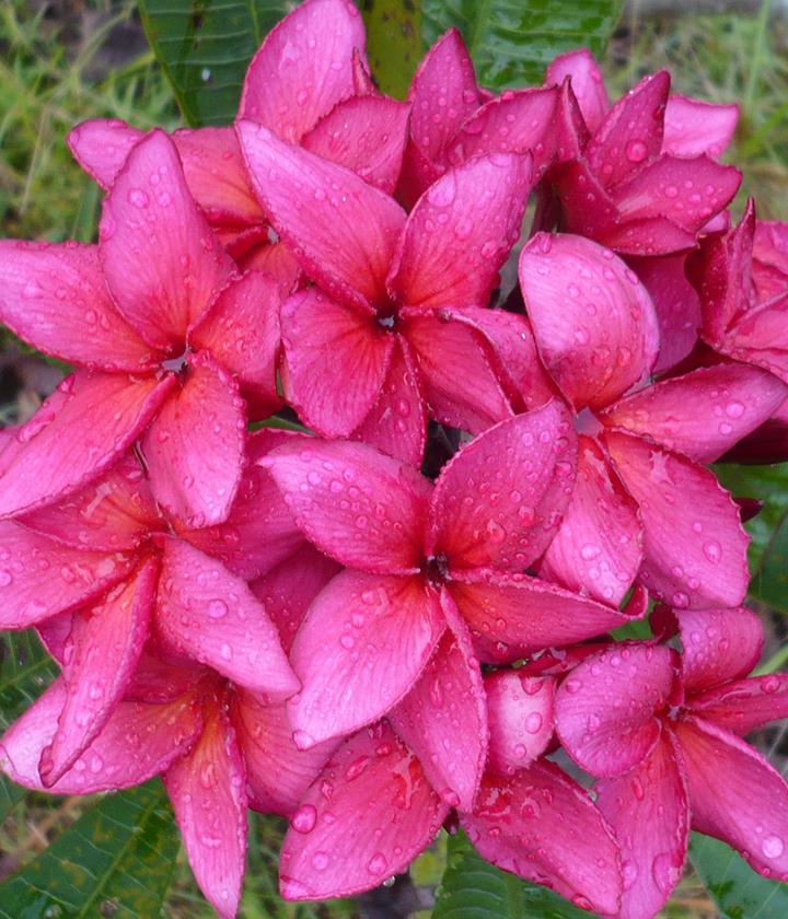 Tahitian Red