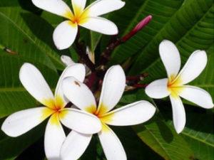 White Frangipanis